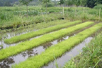 かどや米穀店有機栽培米