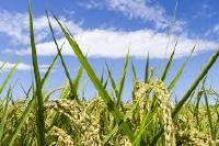 かどや米穀店有機栽培(オーガニック)と無農薬の違い