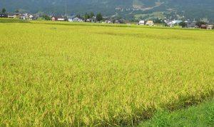 小野塚さんの稲